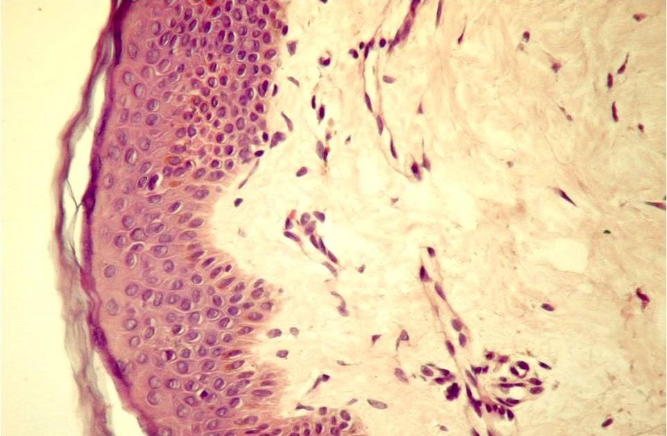 droguri de țesut conjunctiv șobolan