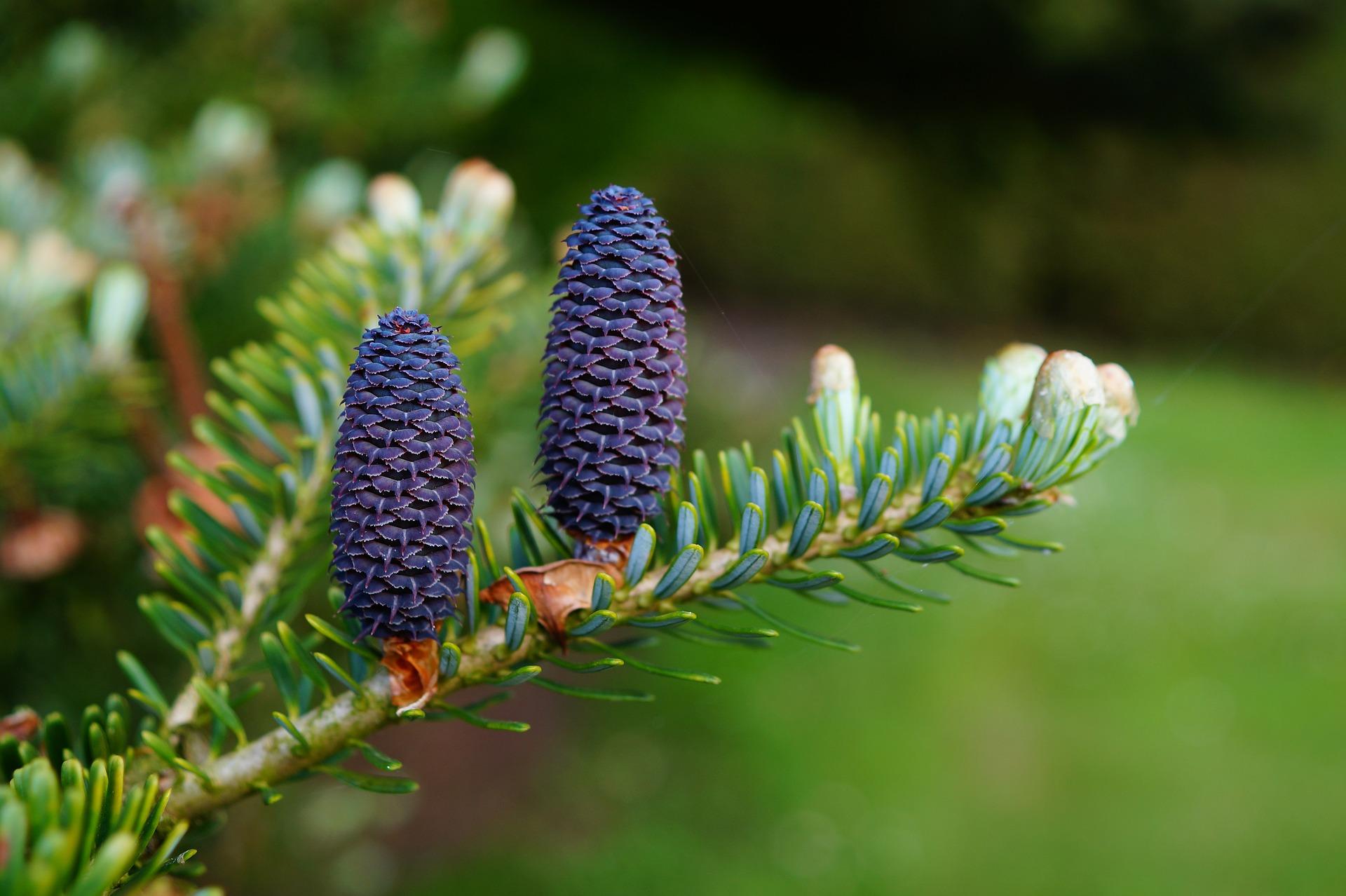Tratament comun cu tinctura de conuri de pin