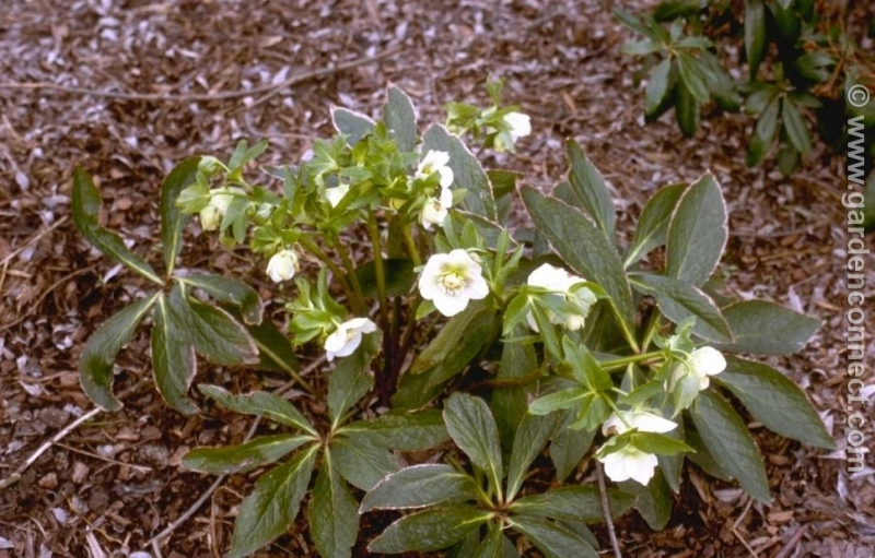 joint hellebore