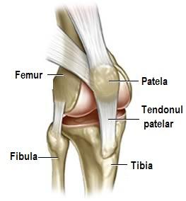 ligamentele și articulațiile genunchiului