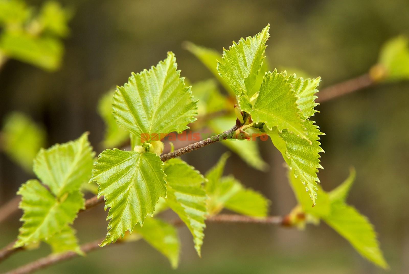 Tratarea articulațiilor frunzelor de arțar Arţarul, leac pentru gută – Doctor Expres