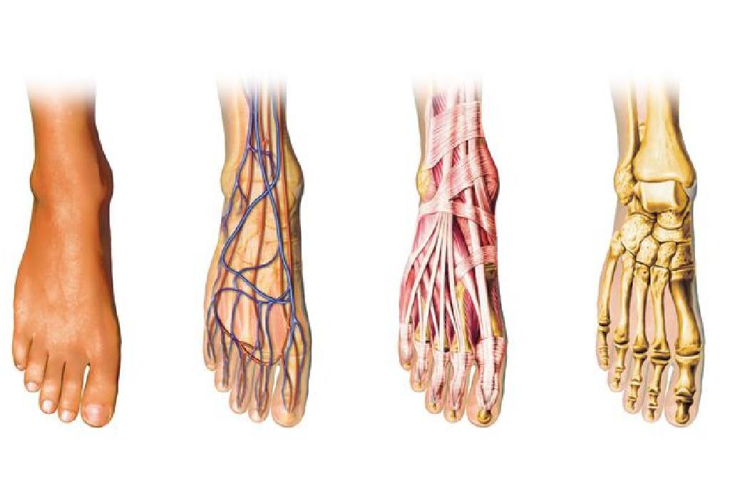 Anatomia piciorului - Noutati