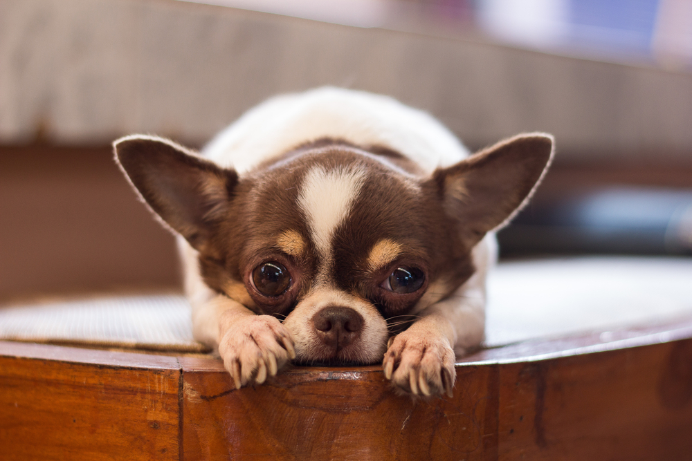 Boli reumatice la animalele de companie – Vanelli VET