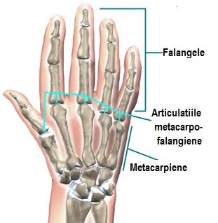 articulațiile mâinilor falangelui încheietura mâinii