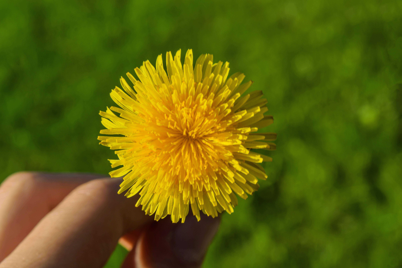 Tinctura de flori de păpădie pentru dureri articulare. Pelvis a suferit tratament articular