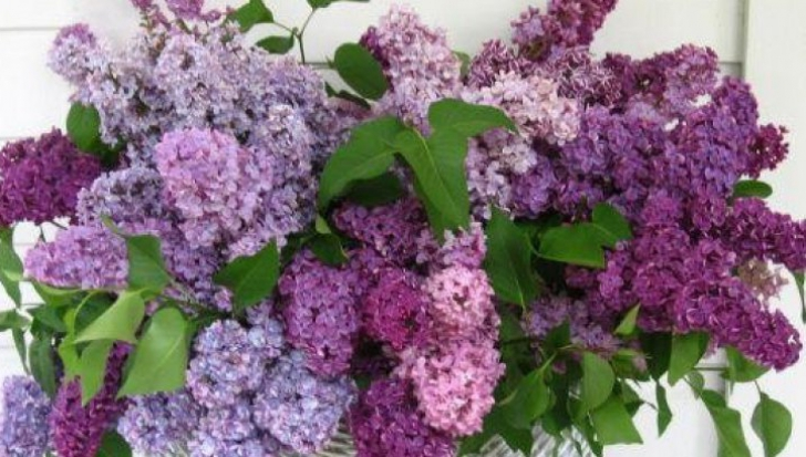 Leacuri pe baza de flori de liliac