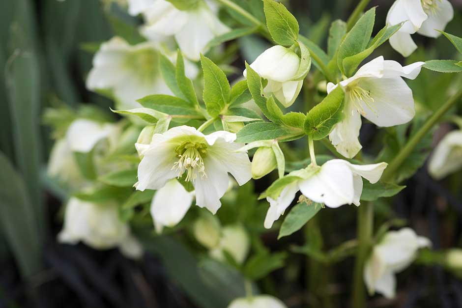Relaxing Solution with Hellebore - Aliphia
