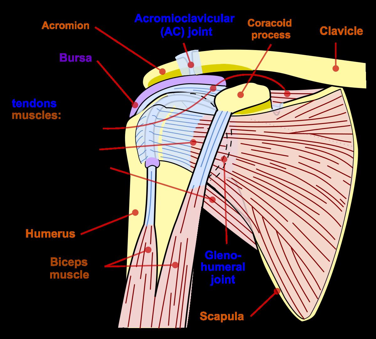 mușchii și articulațiile umărului cotului pastile de artrita pentru articulatia gleznei