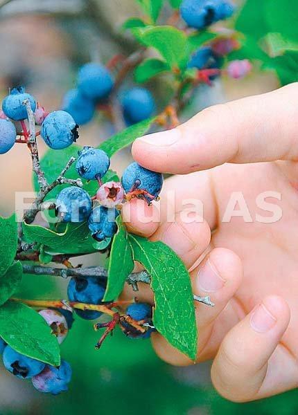 tratamentul articulațiilor de afine