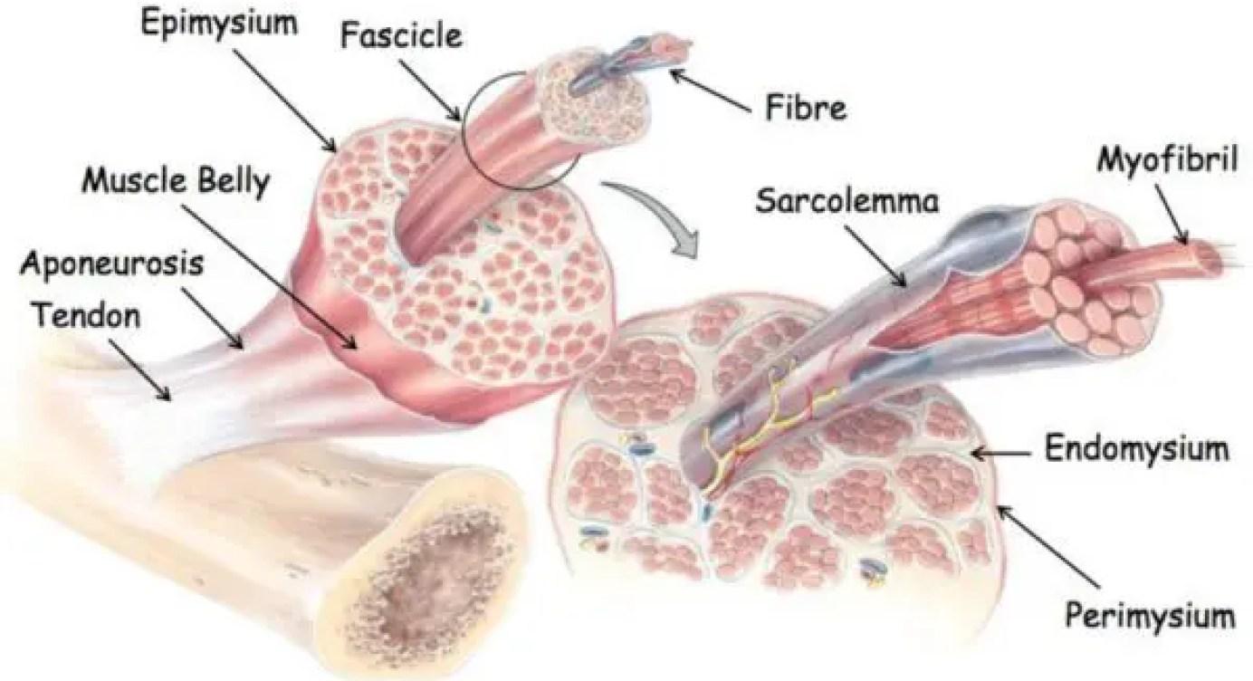 deteriorarea tendonului cauzată de deplasarea osoasă în articulație apă pentru dureri articulare