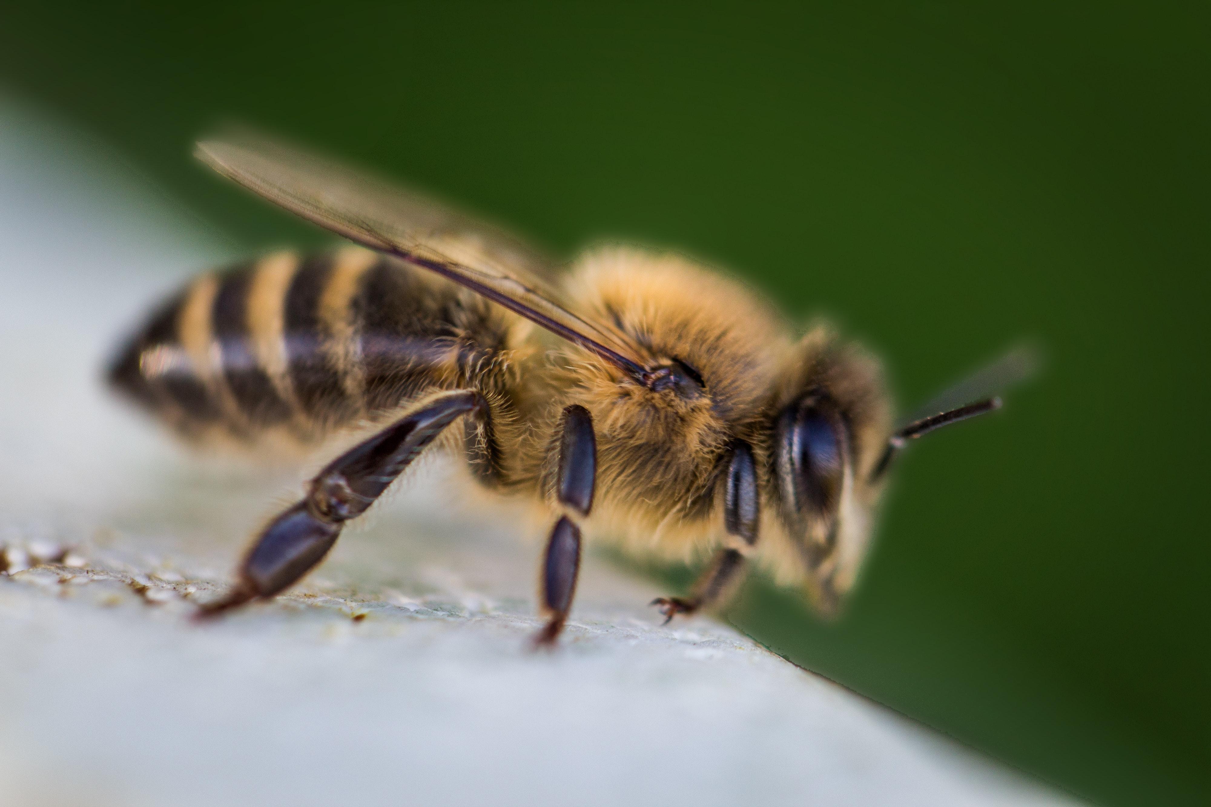 tratamentul artritei și artrozei de către albine