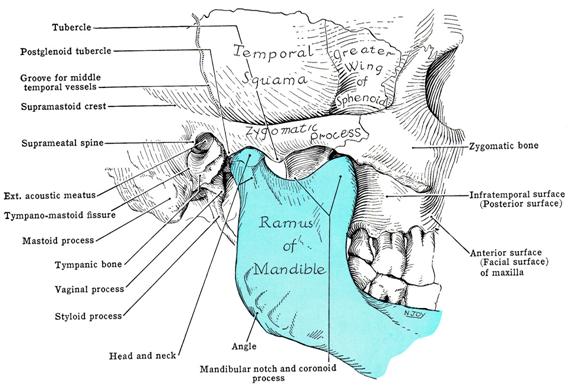 durere, plus articulația falangiană cartilaj format din țesut conjunctiv