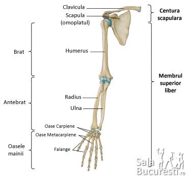 leziuni ale oaselor membrului superior și articulației cotului artroza articulației genunchiului doare picioarele