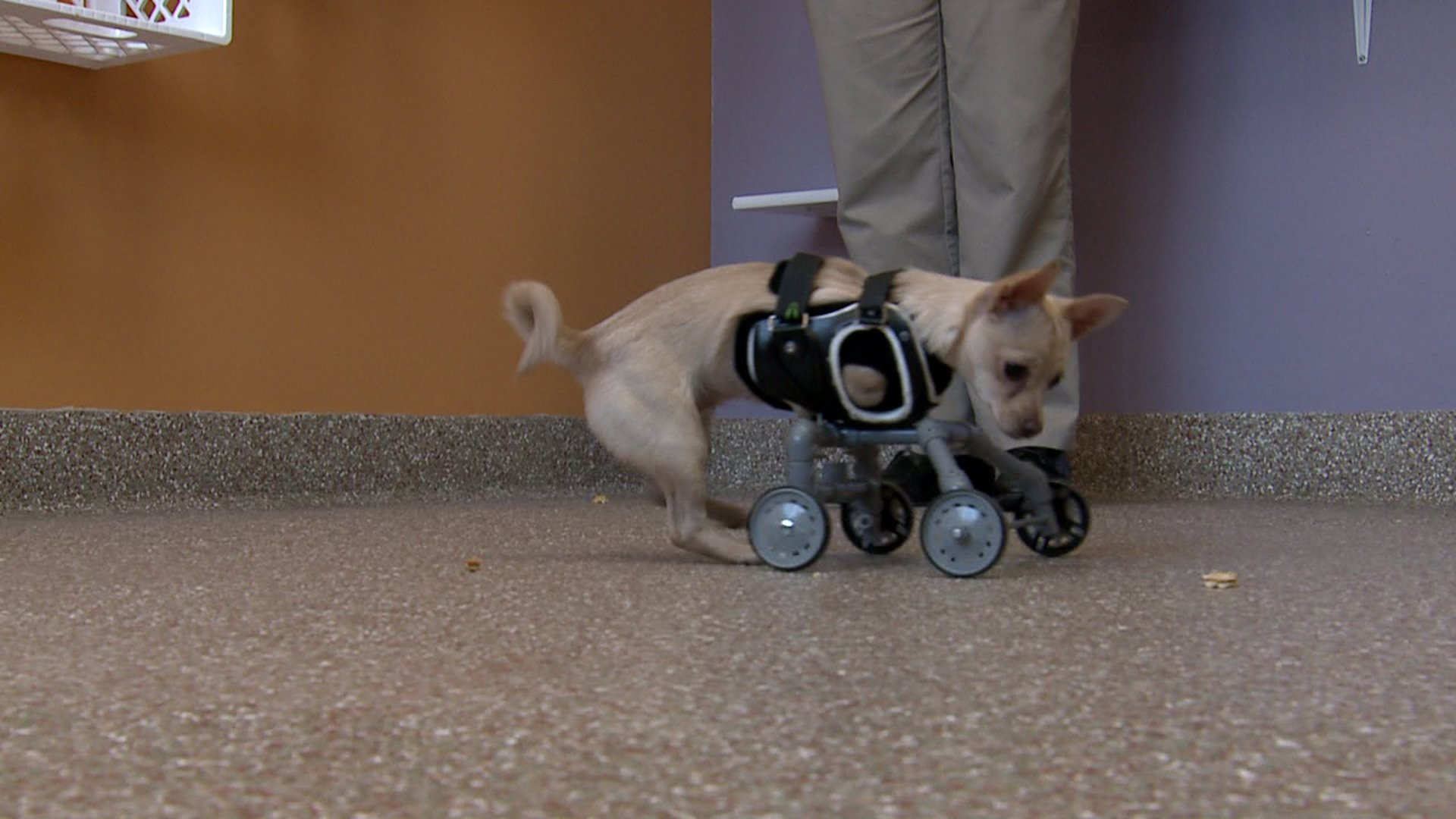 Boli frecvente Chihuahua: trebuie să știți proprietarul unui câine mic Boala articulației chihuahua